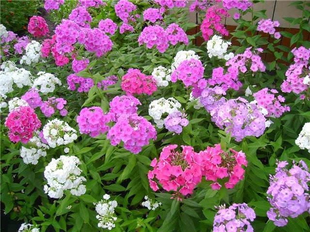 С какими цветами сочетаются флоксы фото