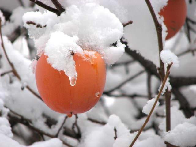 Для России лучше всего выбирать раннеспелые морозостойкие сорта, которые не пострадают от редких суровых заморозков