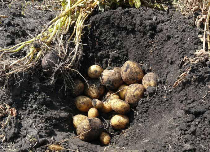Уборка картофеля Винета производится после полного вызревания клубней