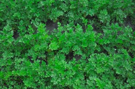 За счет неприхотливости растения, ему не нужно создавать особенных условий, затрачивая на это средства и собственное свободное время