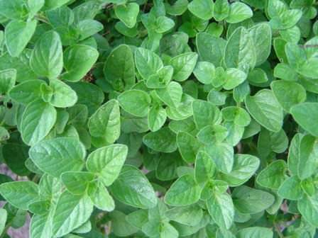 Выращивание майорана: посадка, уход, правильная агротехника