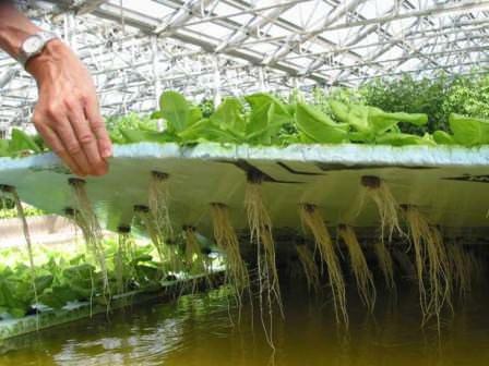 Вырастить салат на гидропонике, естественно, намного сложнее, чем вырастить салат на подоконнике дома, но и результат намного весомее