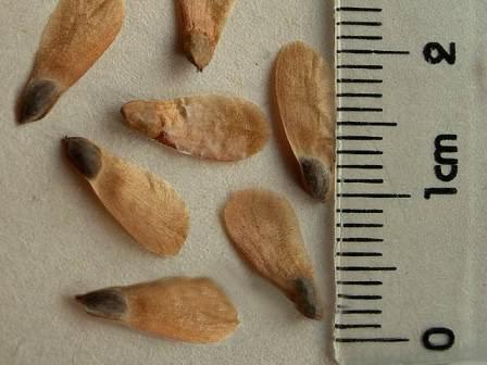 Семена ели: сбор и подготовка к посадке
