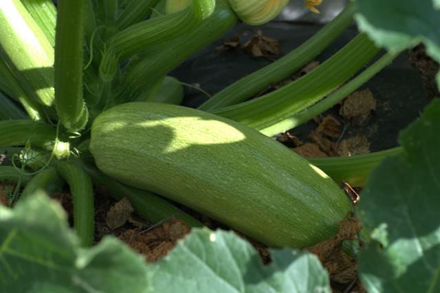 Так как кабачок – довольно крупное растение, то расстояние между рядами должно быть не менее 1-1,5 м, а между лунками — не менее 1 м.