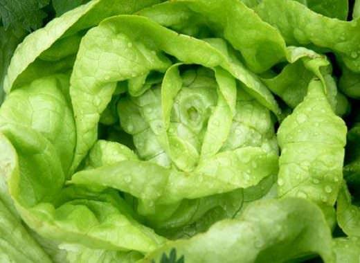 Практически на любом огороде найдется местечко для кочанного салата