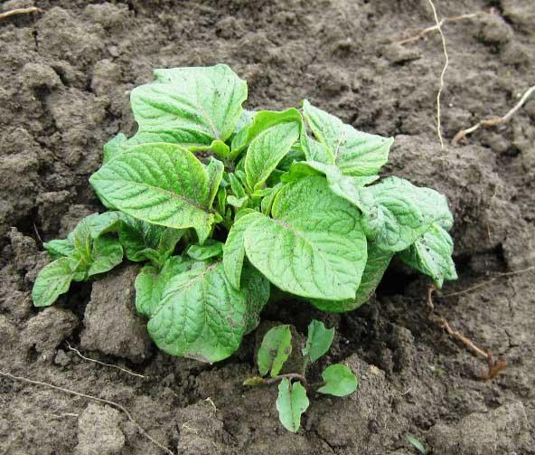 При культивировании картофеля «Гурман» важно поддерживать достаточную рыхлость почвы
