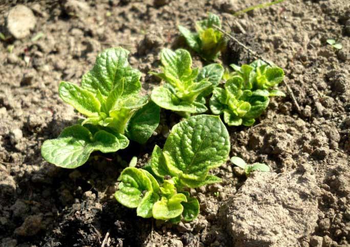 Всходы картофеля «Агрия» появляются не позже чем через месяц после посадки