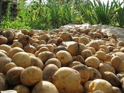 Выращивание картофеля своими руками