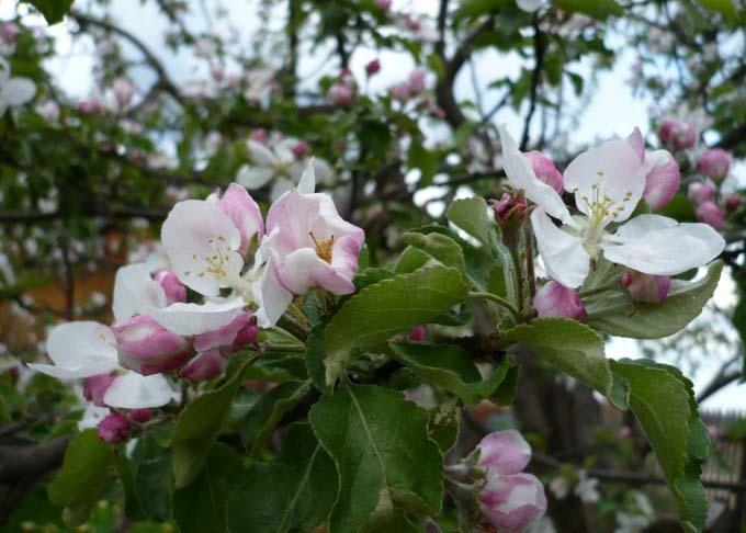 Нежный оттенок цветов яблони «Антоновка» никого не оставляет равнодушным