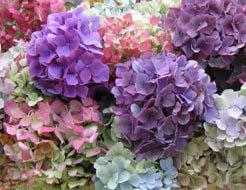 Гортензию выращивают многие уральские цветоводы