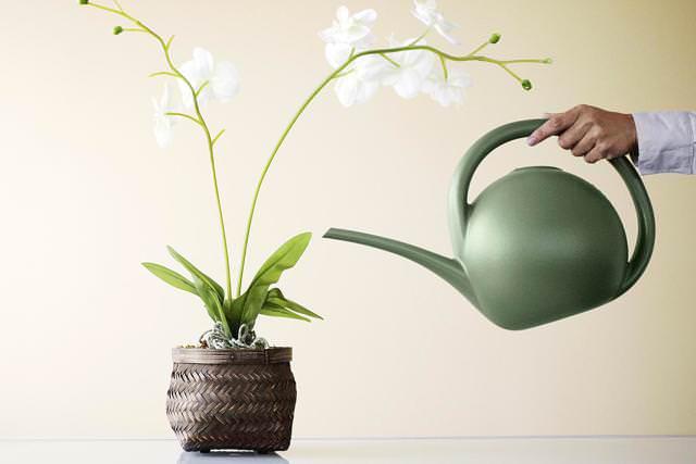 Комнатная орхидея требует проведения полива раз в неделю