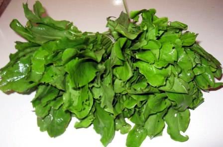 Урожай щавеля и применение культуры для приготовления вкусных и ароматных блюд