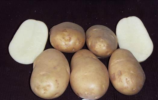 Картофель «Чародей» характеризуется высоким уровнем лежкости и товарностью корнеплодов