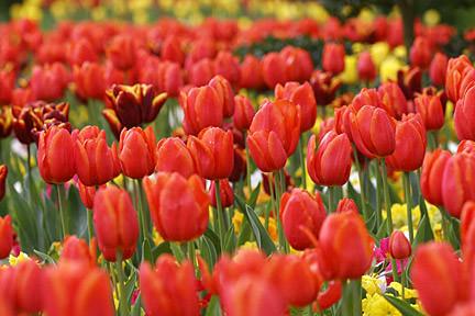 Как вырастить тюльпаны в теплице к 8 марта: условия выгонки