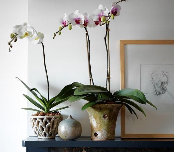 Основной критерий правильно подобранного грунта – цветение фаленопсиса