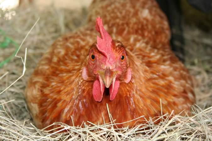 Несушки ломан браун – очень популярная порода кур в нашей стране