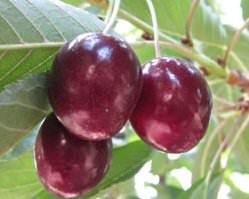 Ягоды гибрида вишни получают черты обоих скрещенных растений