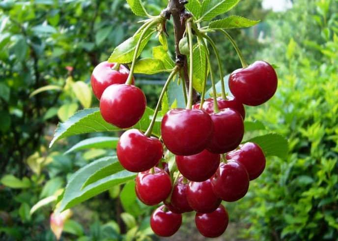 С одного взрослого дерева «Молодежной» вишни собирают более десяти килограммов ароматных плодов