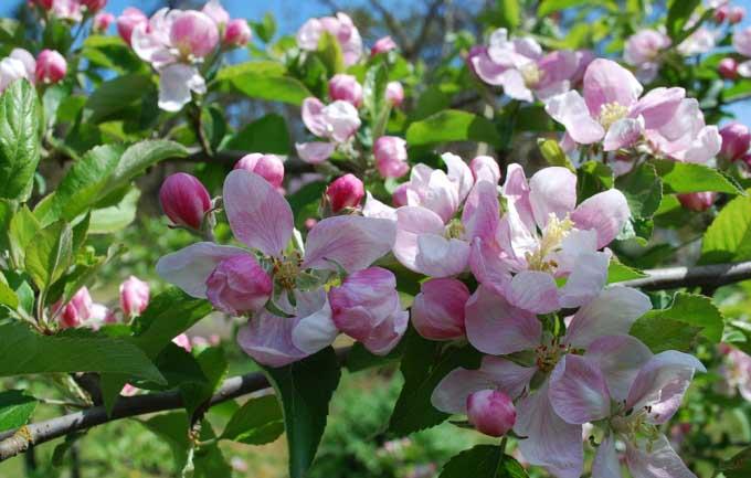 В весенний период яблоня «Краса Свердловска» покрывается большим количеством крупных, белых с розовым оттенком цветов