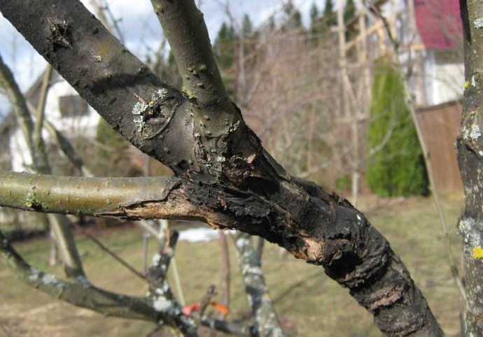 Черный рак – заболевание яблонь, которое поражает кору штамба, листья и плоды