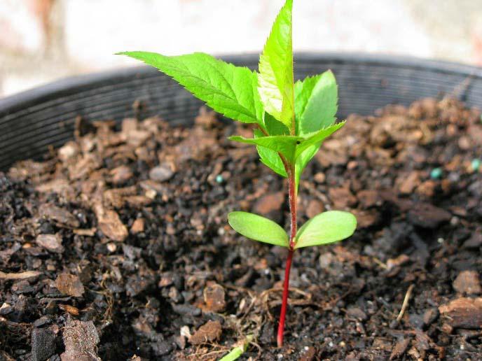 Саженцы сорта «Коричное полосатое» встречаются в садоводческих питомниках достаточно редко