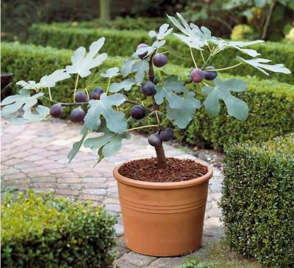 Ficus Carted
