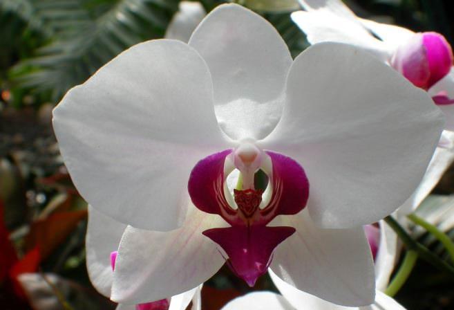 Белые орхидеи напоминают порхающих бабочек, которые красиво выделяются на фоне зелёных листьев растения