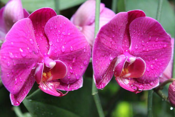 Комнатным орхидеям необходимы особенные, близкие к естественным условия для выращивания