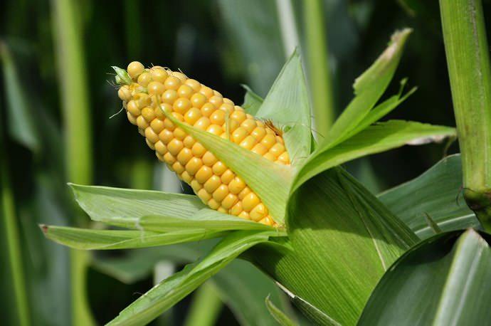 Календарь садовода и огородника на 2018 год рекомендует уделить внимание кукурузе