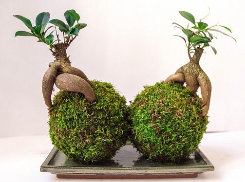 «Джинсенг» (Ficus Ginseng)