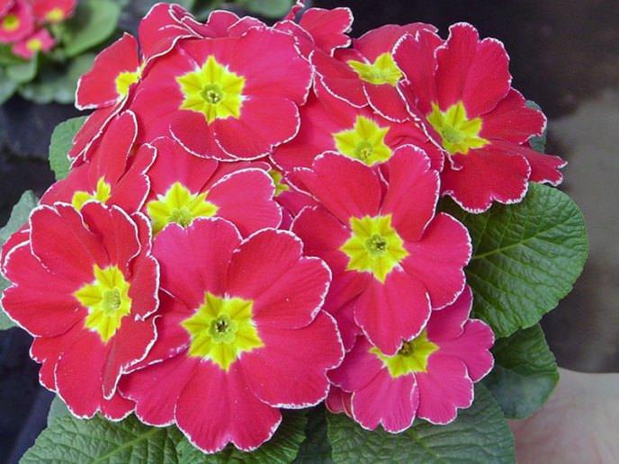 Примулы – благоприятные растения для посадки в январе