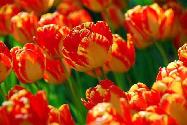 Дарвиновские гибридные тюльпаны характеризуются устойчивостью к весенним заморозкам