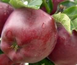 Сорт яблок «Делишес Ред» очень популярен в нашей стране