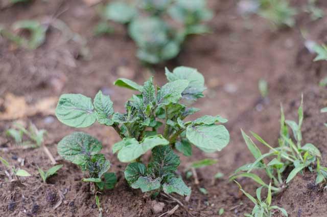Картофель «Лапоть» показывает высокий уровень приживаемости практически на всех типах грунта