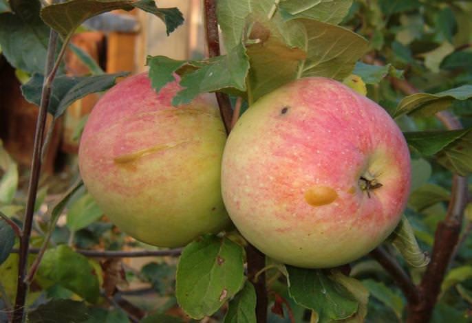 Сорт яблок «Антоновка апортовая» может быть отнесен к категории ранних зимних