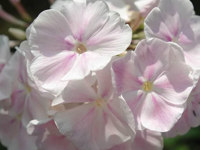 Сорт «Зефир» имеет большое, круглое, воздушное соцветие