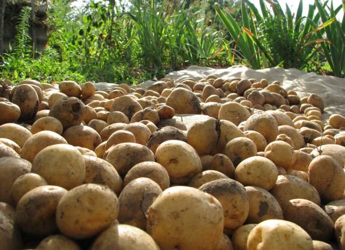 Картофель «Тимо» формирует хороший урожай