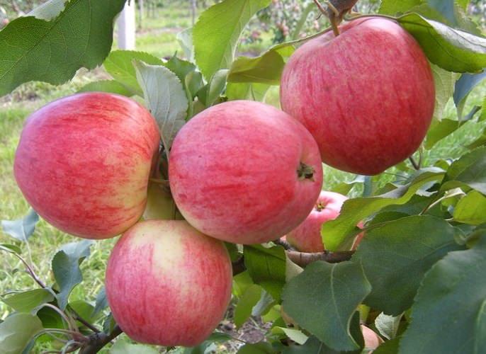 Сорт «Коричное» стал базовым для выведения порядка двадцати разновидностей яблонь, отличающихся зимостойкостью