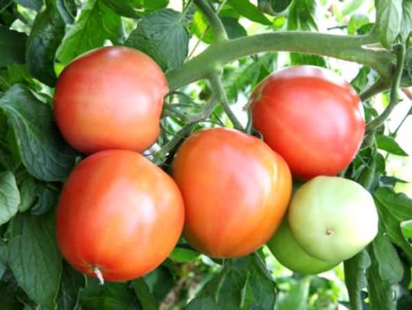 Томаты «Малиновое чудо» достаточно неприхотливы и легко адаптируются к условиям выращивания