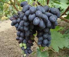 Виноград Бурдака А.В. пользуется популярностью у виноградорей