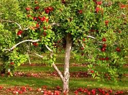 Старение яблони происходит в несколько этапов