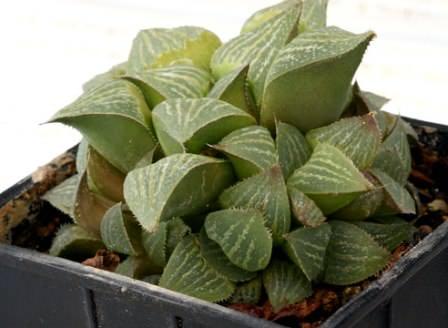 Если вы решили вырастить хавортию и размножать данное растение в домашних условиях, вам необходимо знать целый набор требований, которые вам придется постоянно соблюдать для правильного развития растения