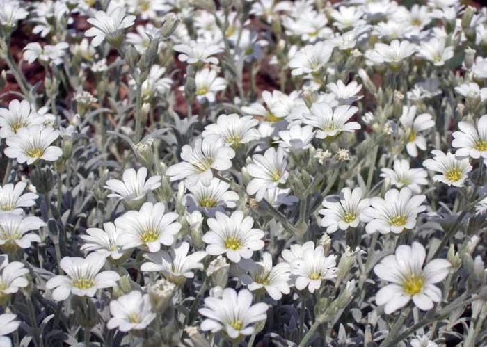Войлочный сорт не разрастается, поэтому на альпийские горки цветок обычно не высаживают