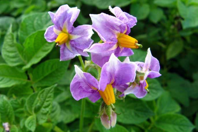 Раннеспелый картофель «Розана» успел получить обоснованную популярность во многих странах