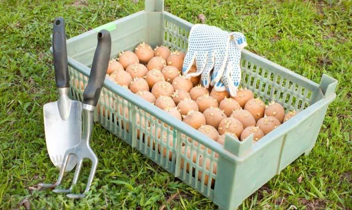 Для посадки картофеля в бочке следует отобрать корнеклубни без повреждений и признаков поражения заболеваниями