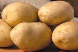 Картофель «Бриз» столового назначения выведен белорусскими селекционерами