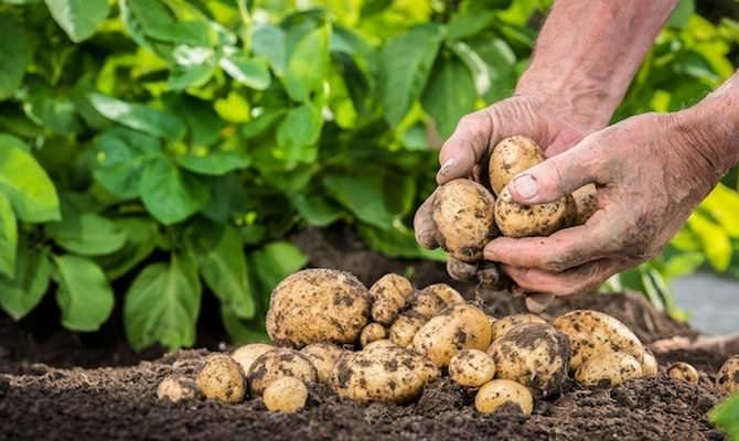 Очень хороший урожай картофеля «Чародей» по силам вырастить даже начинающему овощеводу