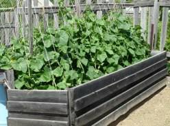При посадке огурцов в гряды существует несколько агротехнических тонкостей, которые нужно учитывать