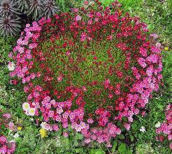 Одно из самых неприхотливых растений – камнеломка, ухаживать за которой сможет даже новичок