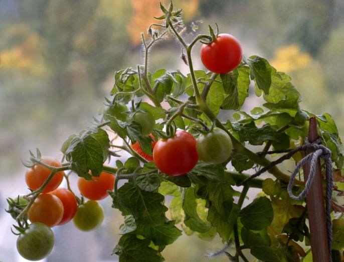 «Бонсай» – низкорослый сорт, высотой 20-30 см, штамбовый с мелкими темно-зелеными листьями